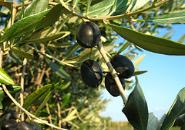 Olive fruit on tree branch